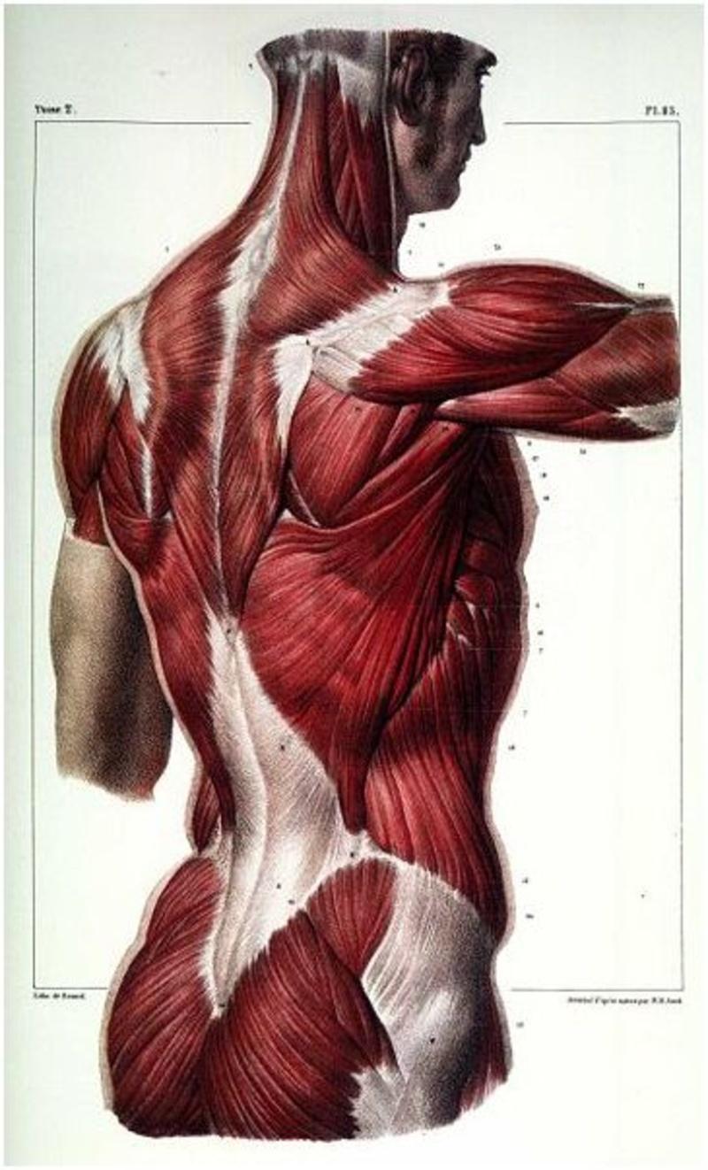 Schön Menschliche Rumpfmuskulatur Fotos - Menschliche Anatomie ...